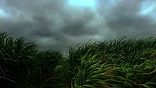 Dark clouds roll in over green tall grasses.